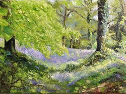 Bluebells at Coed Y Bwnydd