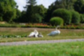 Visborggaard slots svaner