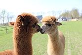 De Nerflander alpaca's Wout en Amir