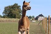 De Nerflander alpaca Wout