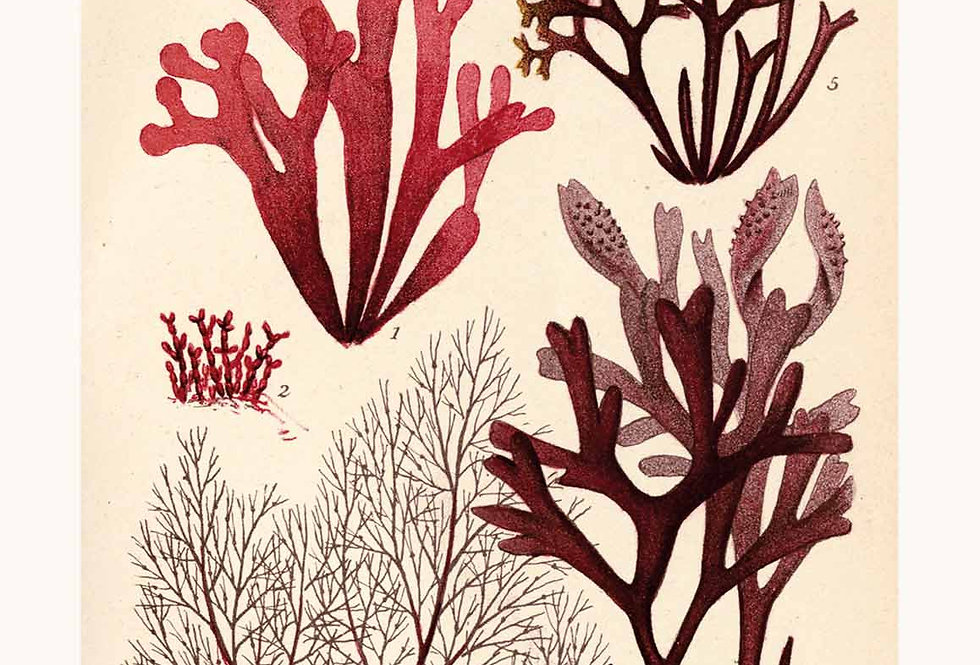 Murrays Seaweed: Red No. B