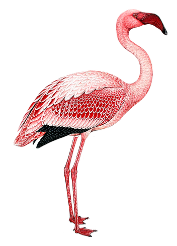 Flamingo Claude Gibney_edited.png