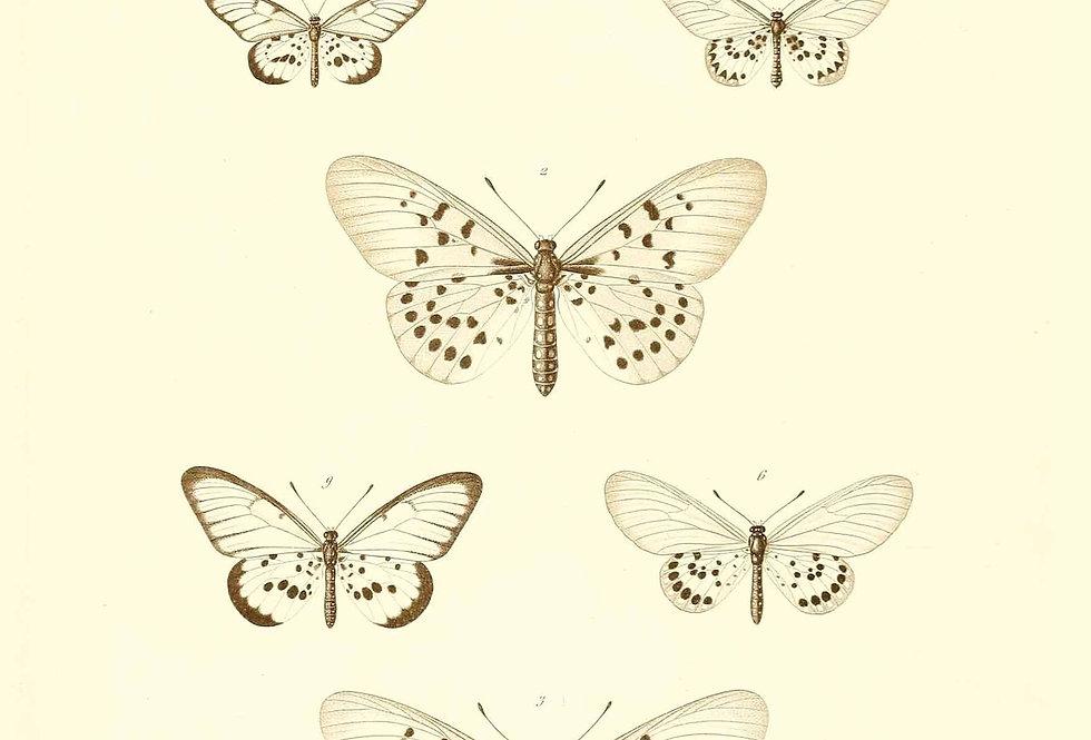 Hvide Sommerfugle. Nr. C