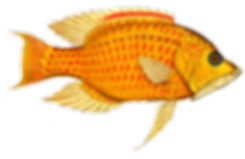 fisk gul.png