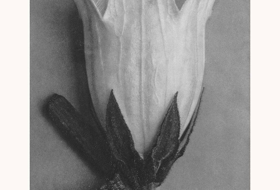 Blossfeldt Nr. 3