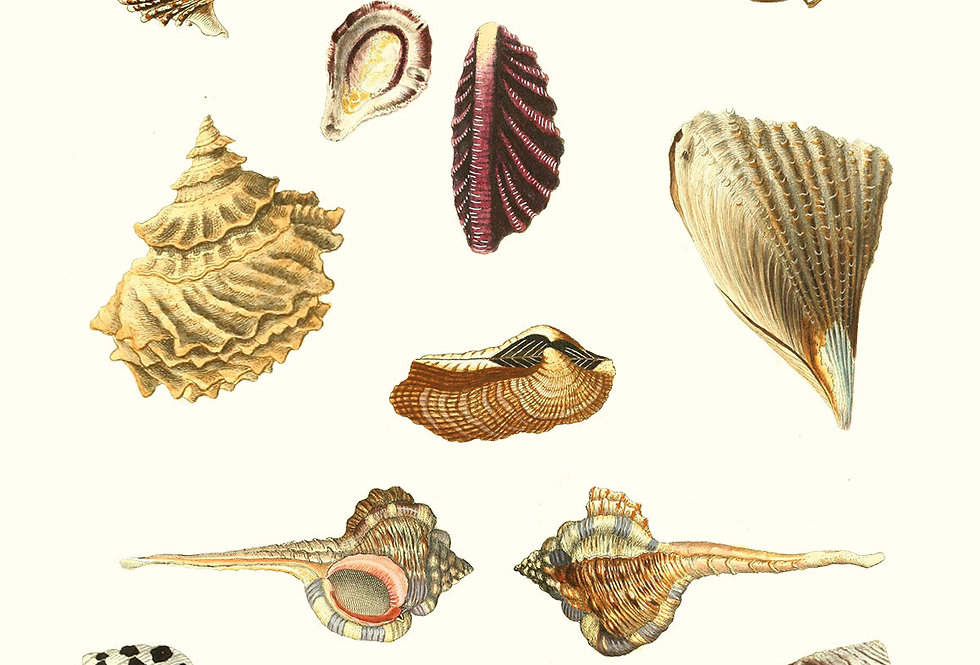 Shells: Diverse farver