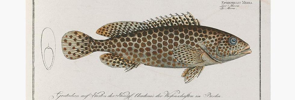 German Fish Illustrations Nr 2