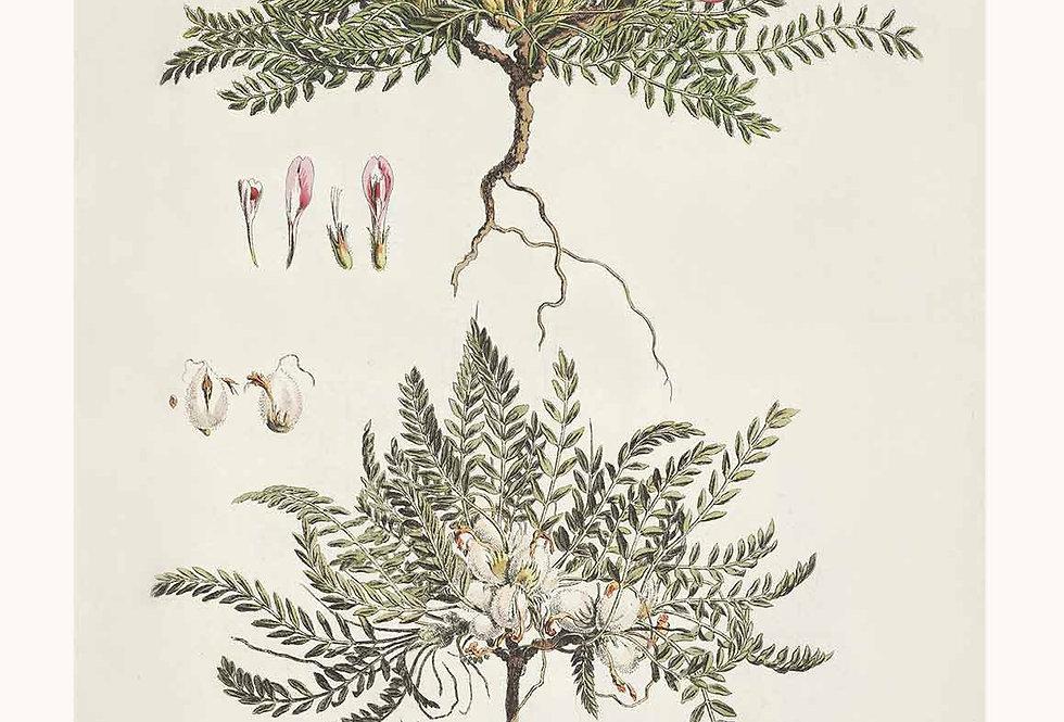 Botanik Serie Astra Nr. 1