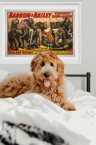 Barnum teen Hund SHOW.jpg