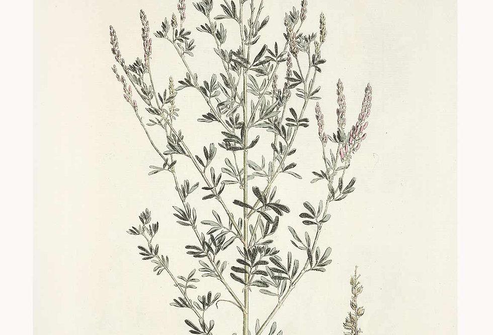 Botanik Serie Astra Nr. 4