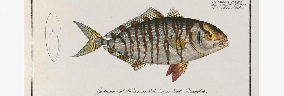 German Fish Illustrations Nr 14