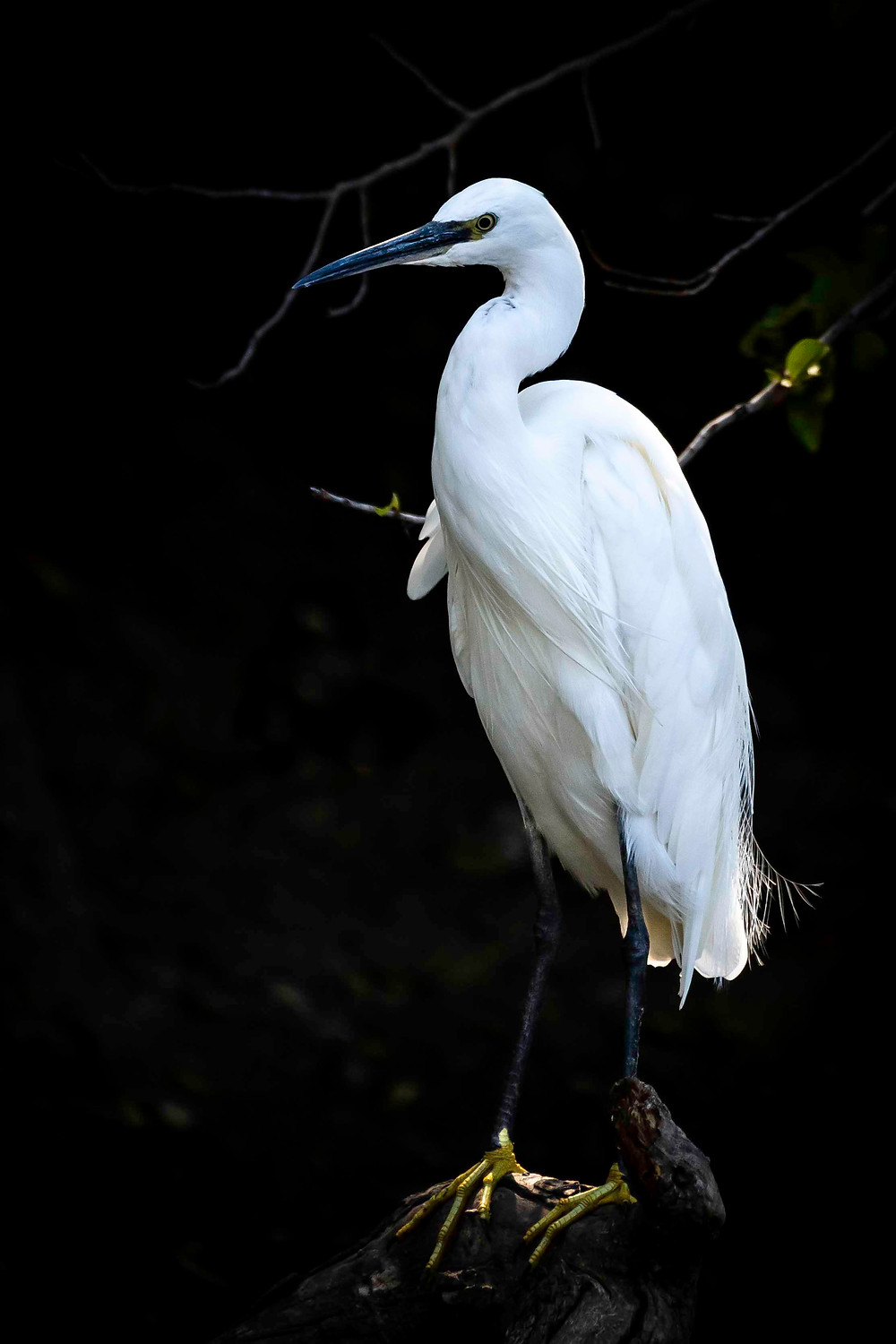 Little egret, identified by yellow feet