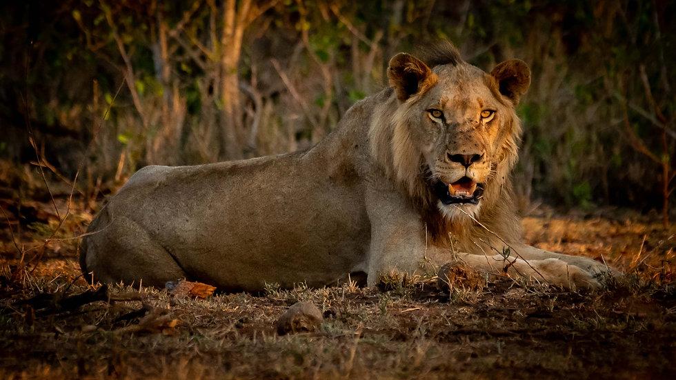 Lion - desktop.jpg