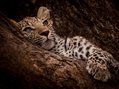 7 Weeks in Kruger: Breakfast with a Leopard Cub