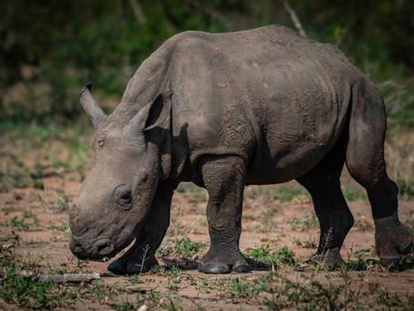 7 Weeks in Kruger: The Rhino Murder Crisis
