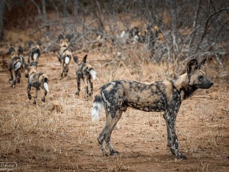 The Wild Dog Puppies of Punda Maria