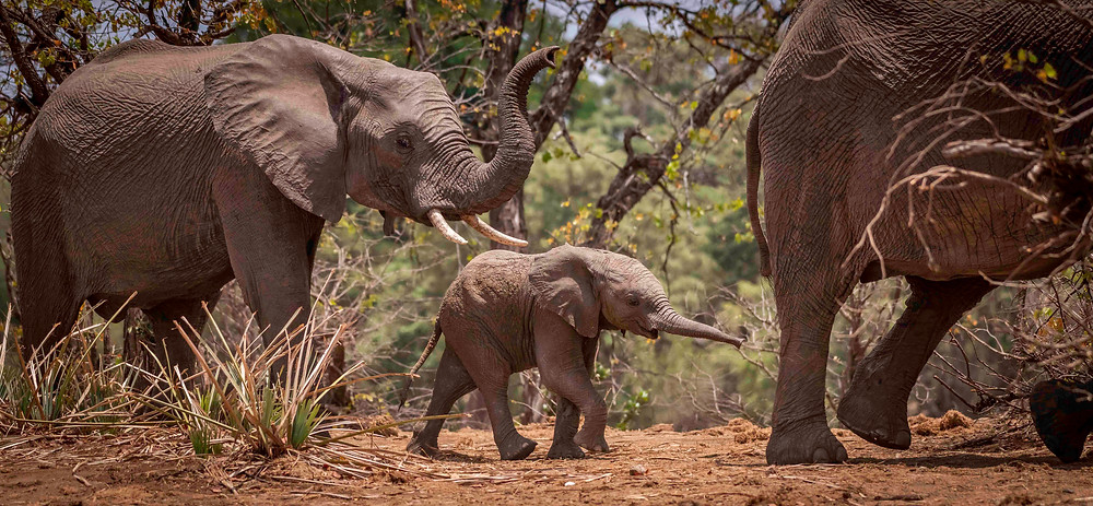 Elephant calf reaches after mum as she strides off from the waterhole