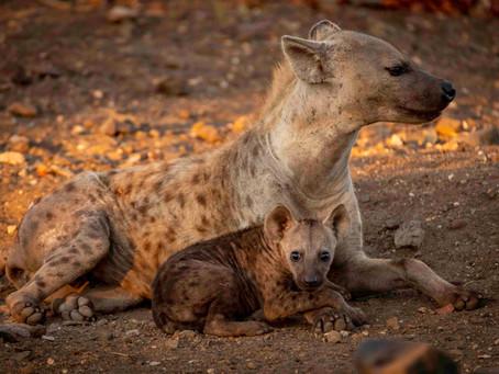 7 Weeks in Kruger: The Hyenas of Letaba