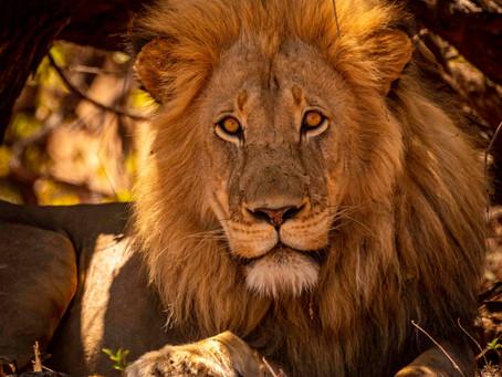 7 Weeks in Kruger: The Letaba Lion & Other Specials