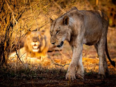 7 Weeks in Kruger: Lower Sabie, Part 1 - The Beasts