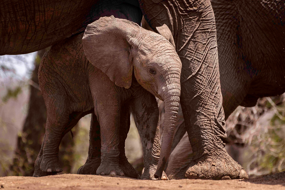 Elephant calf, baby elephant, hide, protection of mother