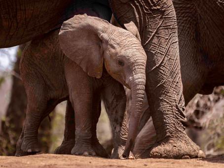 7 Weeks in Kruger: Shingwedzi Elephant Calf School