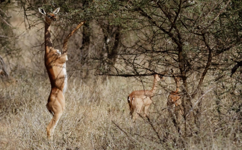 Feeding Gazelle