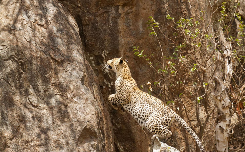 Tanzania Leopard