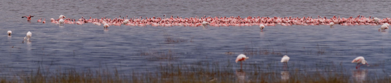 Kenya Flamingos