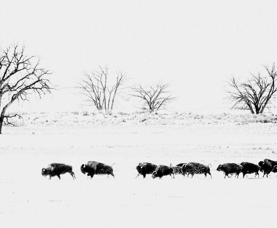 Bison Run