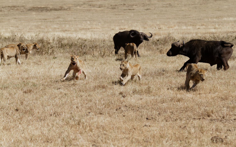 Tanzania Lions and Buffalo