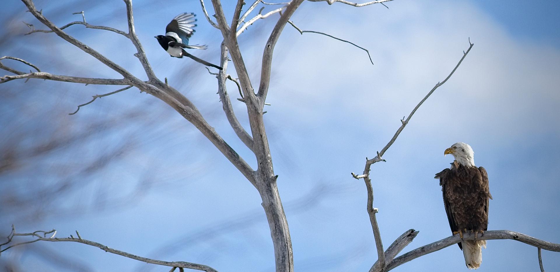 _MG_5843_Cheyenne Zoo_Bald Eagle and Mag