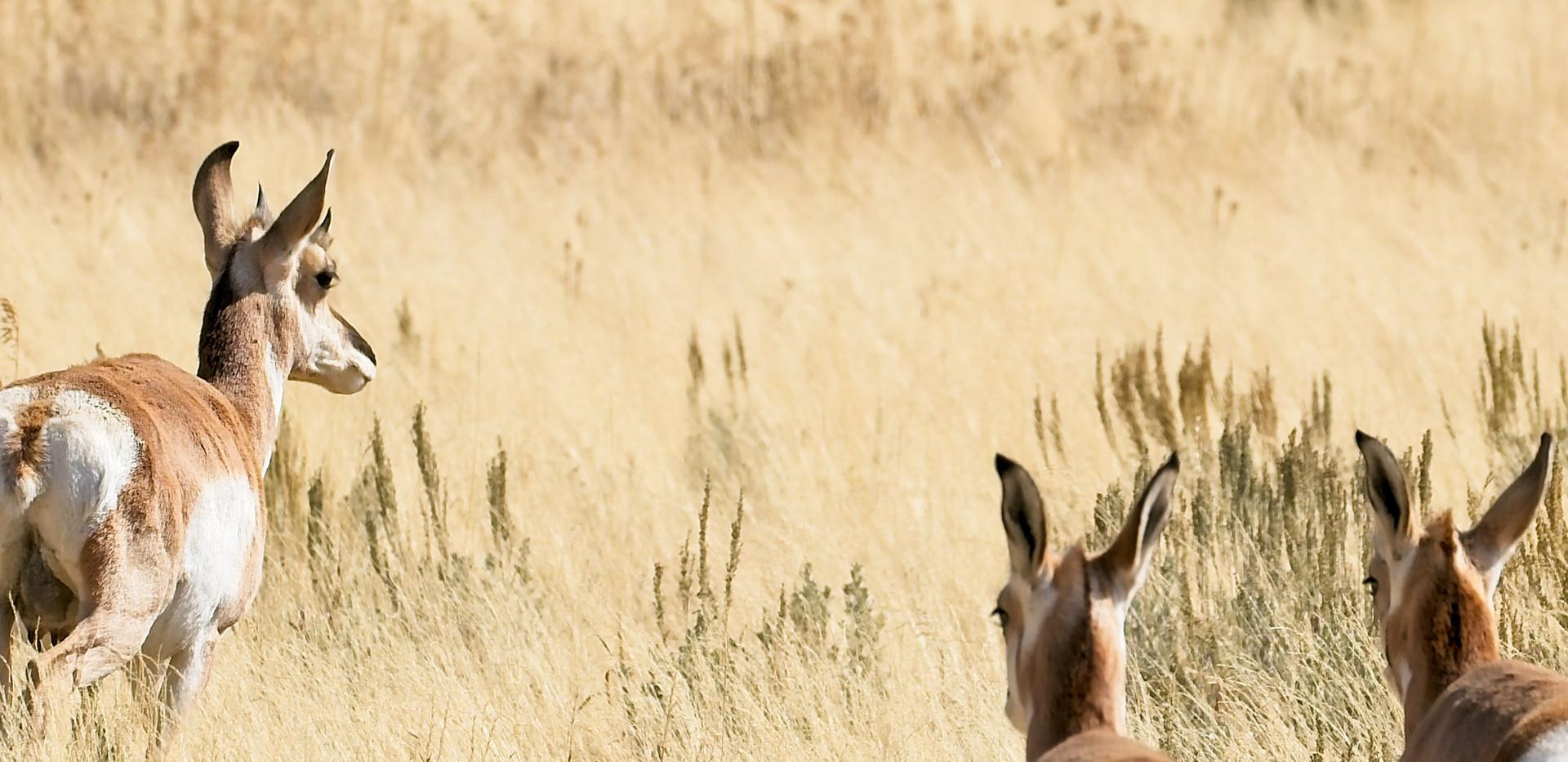 Three Antelope