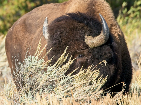 Bison in Grass