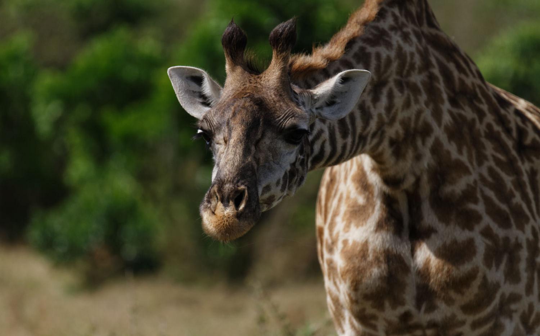 Giraffe Attitude