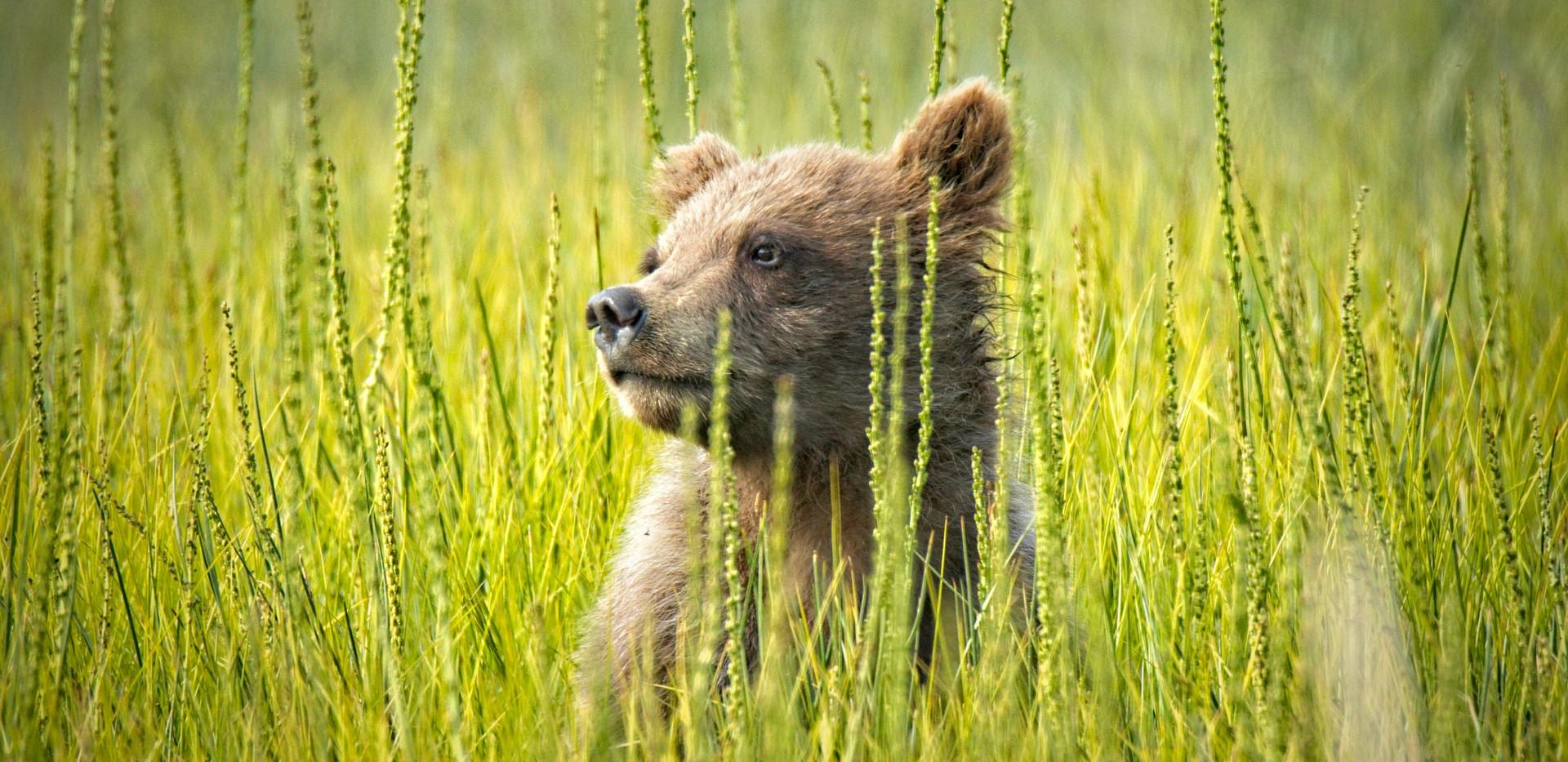 Cub in Green Grass
