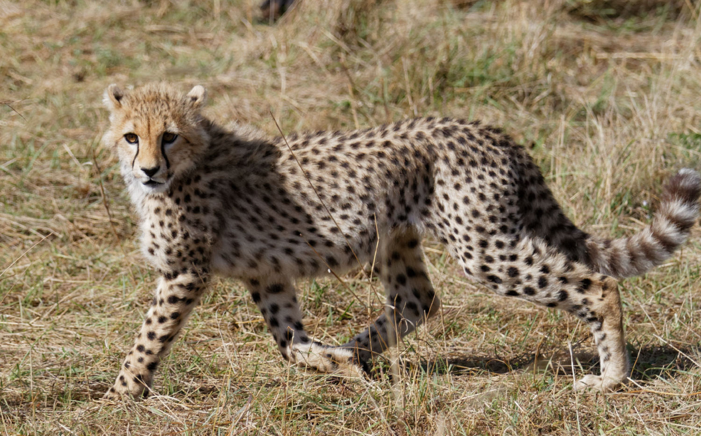 Kenya Cheetah