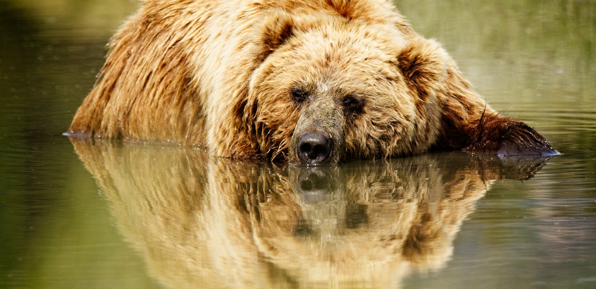 Bear reflection