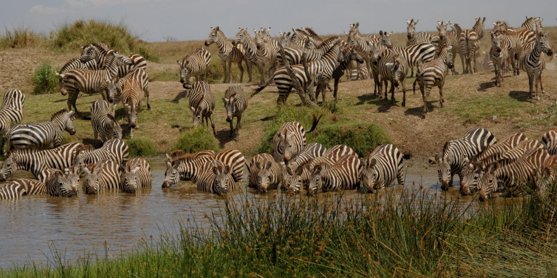 Tanzania Zebra Watering Hole