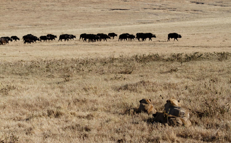 Tanzania Lion Hunt
