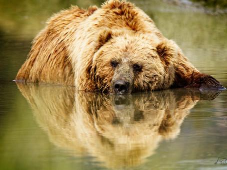 Alaska Coastal Bears & Puffins - July 2020