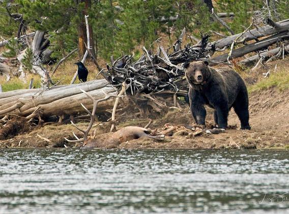Bear vs Elk