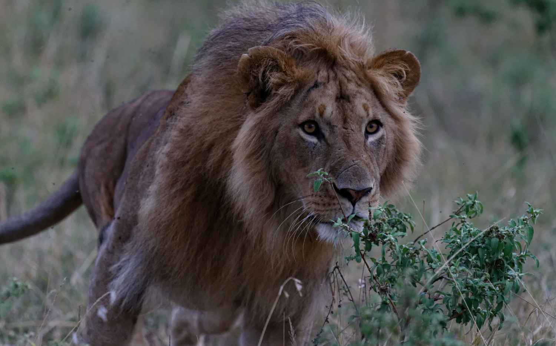 Kenya Lion Pouncing