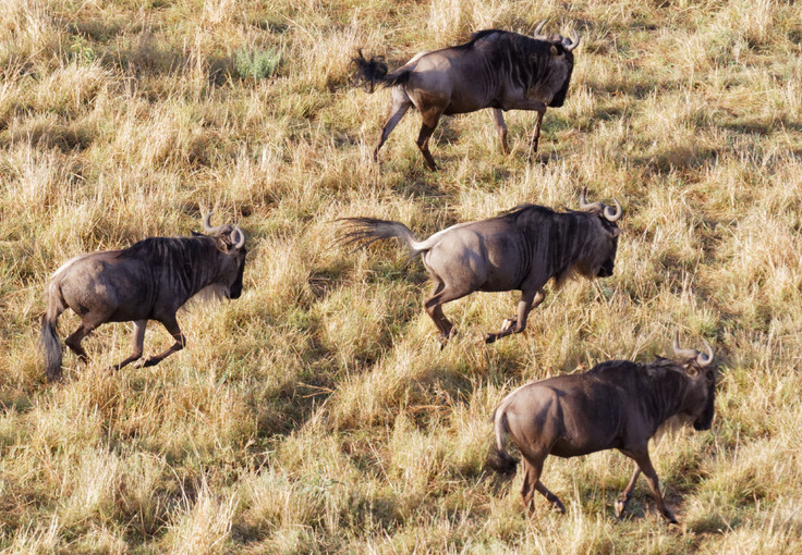 Wildebeests from Above