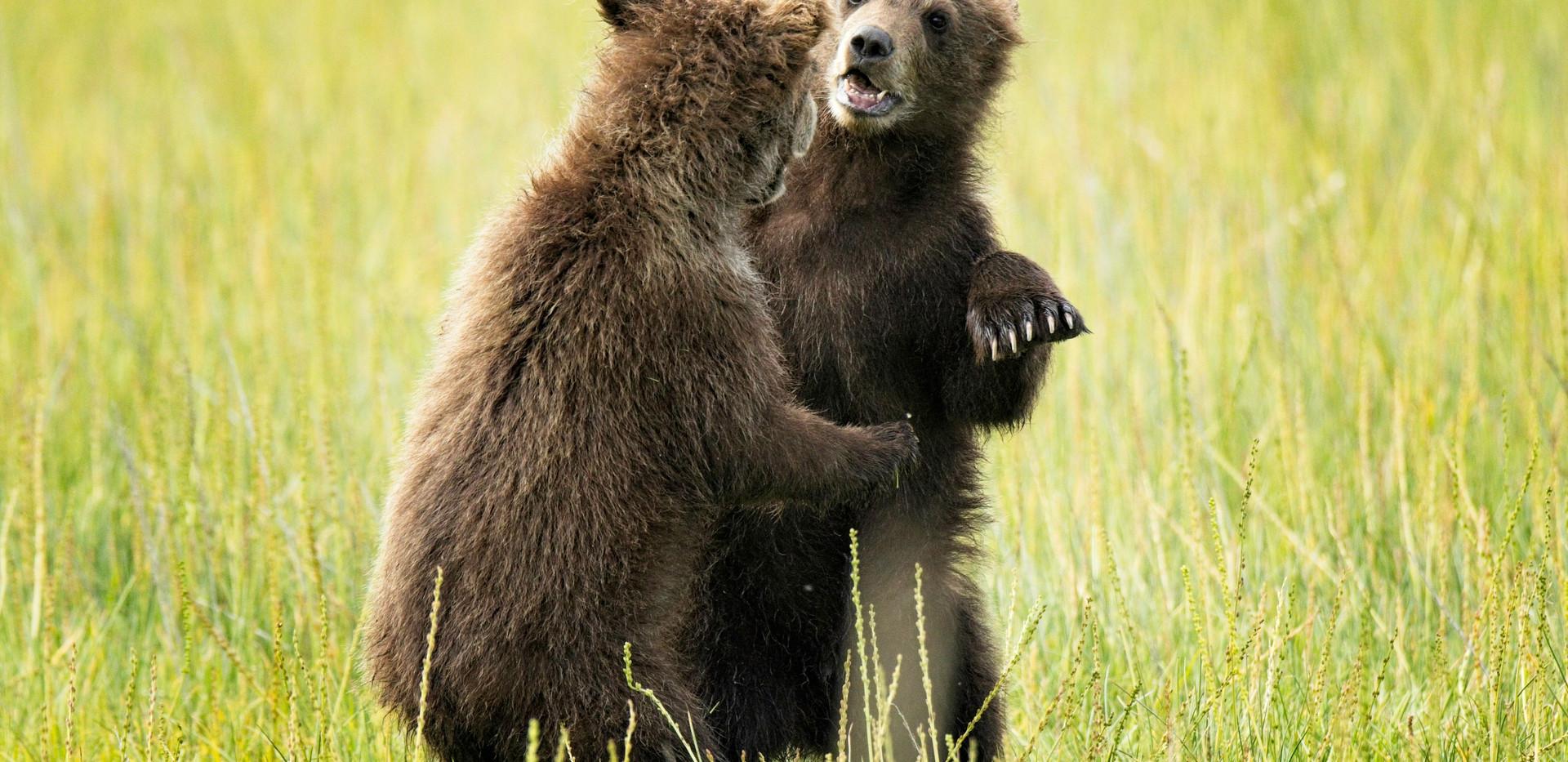 Dancing Cubs
