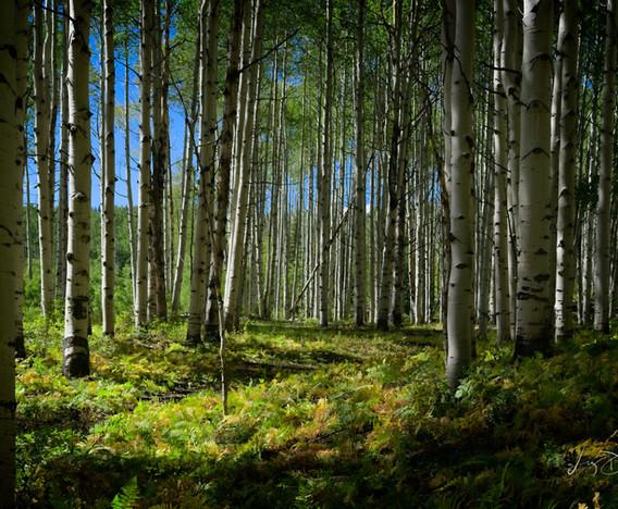 Green Aspen Forest