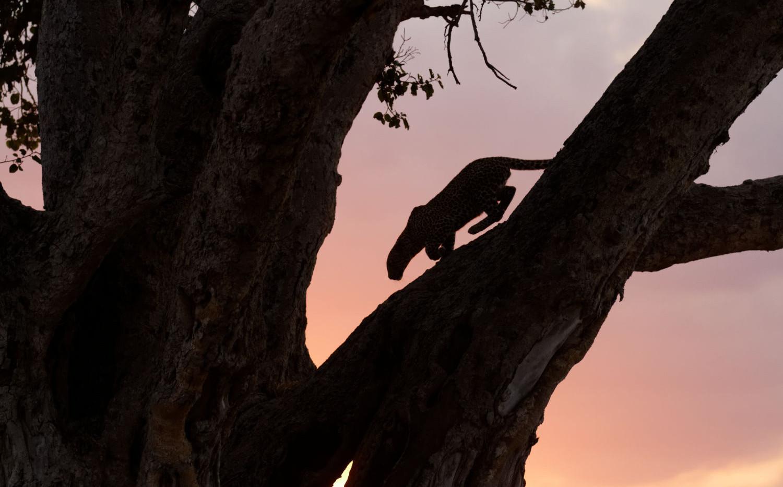 Tanzania Leopard in a Fig Tree