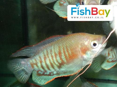 דג נוי גורמי פאסיאטה