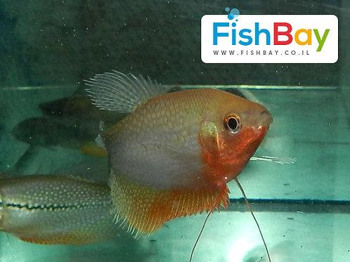 דג נוי גורמי גינגי