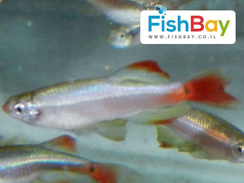 טניכטיס אלבונובס דג נוי